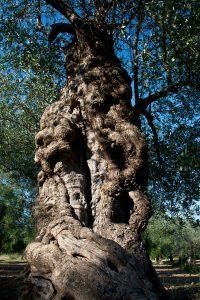 olivisecolarivenafro